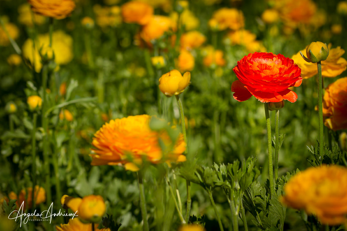 Ranunculus at the Carlsbad Flower Fields © Angela Andrieux